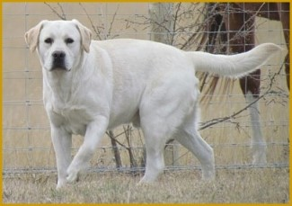 Male Yellow Labrador Retriever